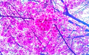 Hyper Pink Cherry Blossoms in DC Photo by Keri Douglas