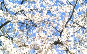 Cherry Blossoms, April, 2013, Washington, D.C.  Photo by Keri Douglas (copyright protected)